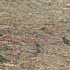 Neochmia temporalis (Red-browed Finch) at Jerrabomberra Wetlands - 23 Mar 2018 by RodDeb