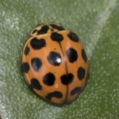 Harmonia conformis (Common Spotted Ladybird) at Higgins, ACT - 22 Mar 2018 by Alison Milton
