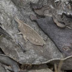 Goniaea sp. (genus) (A gumleaf grasshopper) at The Pinnacle - 22 Mar 2018 by Alison Milton