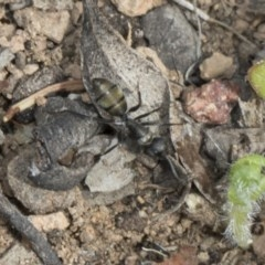 Camponotus sp. (genus) (A sugar ant) at The Pinnacle - 22 Mar 2018 by Alison Milton