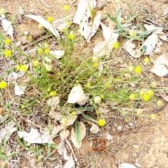 Calotis lappulacea (Yellow burr daisy) at Deakin, ACT - 23 Mar 2018 by JackyF