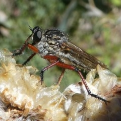 Zosteria sp. (genus) (Common brown robber fly) at Namadgi National Park - 17 Mar 2018 by HarveyPerkins