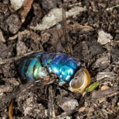 Rutilia (Chrysorutilia) sp. (genus & subgenus) (A Bristle Fly) at Gungaderra Grasslands - 24 Mar 2018 by DerekC