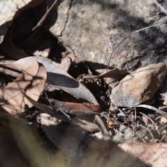 Goniaea opomaloides (Mimetic Gumleaf Grasshopper) at Wamboin, NSW - 1 Feb 2018 by natureguy