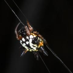 Austracantha minax (Christmas Spider, Jewel Spider) at Black Mountain - 23 Mar 2018 by DerekC