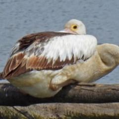Pelecanus conspicillatus (Australian Pelican) at Jerrabomberra Wetlands - 24 Mar 2018 by RodDeb