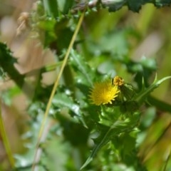 Sonchus asper (Prickly Sowthistle) at Wamboin, NSW - 1 Feb 2018 by natureguy