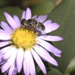 Villa sp. (genus) (Unidentified Villa bee fly) at Higgins, ACT - 27 Feb 2018 by Alison Milton