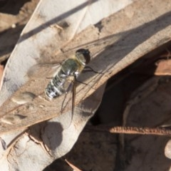 Villa sp. (genus) (Unidentified Villa bee fly) at Bruce, ACT - 26 Mar 2018 by Alison Milton
