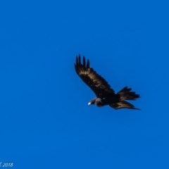 Aquila audax (Wedge-tailed Eagle) at Booth, ACT - 26 Mar 2018 by ajc