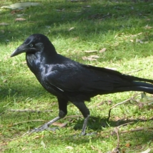 Corvus coronoides at Canberra Central, ACT - 19 Mar 2018