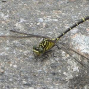 Austrogomphus ochraceus at Cotter Reserve - 22 Mar 2018
