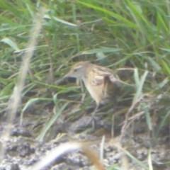 Poodytes gramineus (Little Grassbird) at Jerrabomberra Wetlands - 23 Mar 2018 by Christine