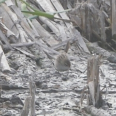 Poodytes gramineus at Jerrabomberra Wetlands - 23 Mar 2018
