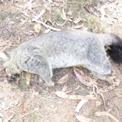 Trichosurus vulpecula (Common Brushtail Possum) at Red Hill Nature Reserve - 27 Mar 2018 by JackyF