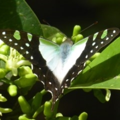 Graphium macleayanum (Macleay's Swallowtail) at ANBG - 24 Mar 2018 by Christine