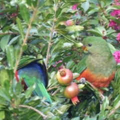 Alisterus scapularis (Australian King-Parrot) at Hughes, ACT - 23 Mar 2018 by JackyF