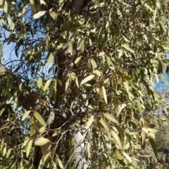Muellerina eucalyptoides (Creeping Mistletoe) at Mount Mugga Mugga - 27 Mar 2018 by Mike