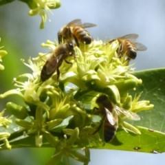 Apis mellifera (European honey bee) at ANBG - 24 Mar 2018 by Christine