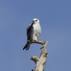 Elanus axillaris (Black-shouldered Kite) at Jerrabomberra Wetlands - 27 Mar 2018 by jbromilow50