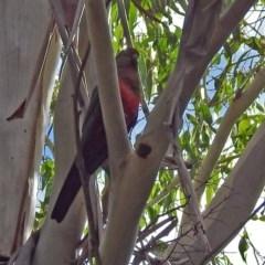 Alisterus scapularis (Australian King-Parrot) at Tidbinbilla Nature Reserve - 27 Mar 2018 by RodDeb