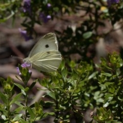 Pieris rapae (Cabbage White) at Higgins, ACT - 28 Mar 2018 by Alison Milton
