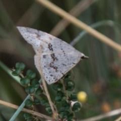 Taxeotis stereospila (Oval-spot Taxeotis) at Namadgi National Park - 4 Feb 2018 by SWishart