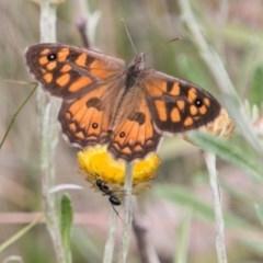Geitoneura klugii (Marbled Xenica) at Namadgi National Park - 4 Feb 2018 by SWishart