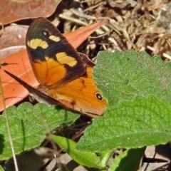 Heteronympha merope (Common Brown) at ANBG - 28 Mar 2018 by RodDeb