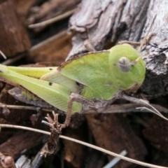 Gastrimargus musicus (Yellow-winged Locust or Grasshopper) at Bimberi Nature Reserve - 4 Feb 2018 by SWishart