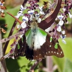 Graphium macleayanum (Macleay's Swallowtail) at ANBG - 28 Mar 2018 by RodDeb