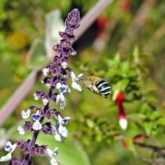 Amegilla sp. (genus) (Blue Banded Bee) at ANBG - 28 Mar 2018 by RodDeb