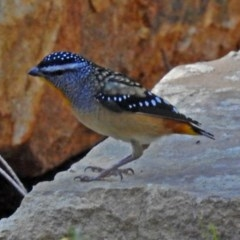 Pardalotus punctatus (Spotted Pardalote) at ANBG - 29 Mar 2018 by RodDeb