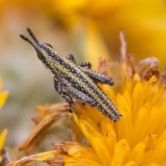 Monistria concinna (Southern Pyrgomorph, Southern Gaudy Grasshopper) at Namadgi National Park - 4 Feb 2018 by SWishart