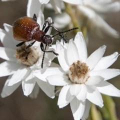 Ecnolagria grandis (Honeybrown beetle) at Cotter River, ACT - 4 Feb 2018 by SWishart