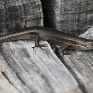 Pseudemoia entrecasteauxii at Namadgi National Park - 4 Feb 2018