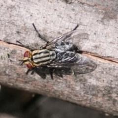 Sarcophagidae sp. (family) (Unidentified flesh fly) at Namadgi National Park - 4 Feb 2018 by SWishart