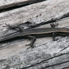 Pseudemoia spenceri (Spencer's Skink) at Namadgi National Park - 4 Feb 2018 by SWishart