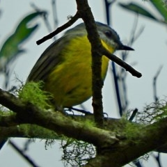 Eopsaltria australis (Eastern Yellow Robin) at Brogo, NSW - 29 Mar 2018 by MaxCampbell