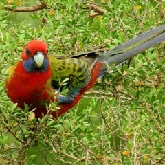 Platycercus elegans (Crimson Rosella) at Brogo, NSW - 29 Mar 2018 by MaxCampbell