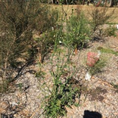 Sonchus asper (Prickly Sowthistle) at Hughes Garran Woodland - 31 Mar 2018 by ruthkerruish