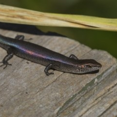Lampropholis delicata (Delicate Skink) at Higgins, ACT - 30 Mar 2018 by Alison Milton