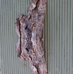 Scioglyptis lyciaria (White-patch Bark Moth) at Aranda, ACT - 29 Mar 2018 by KMcCue