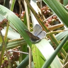 Theclinesthes serpentata at Jerrabomberra Wetlands - 31 Mar 2018