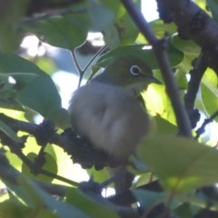 Zosterops lateralis (Silvereye) at Flynn, ACT - 27 Mar 2018 by Christine