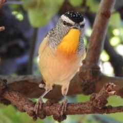 Pardalotus punctatus (Spotted Pardalote) at Flynn, ACT - 27 Mar 2018 by Christine