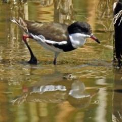 Erythrogonys cinctus at Jerrabomberra Wetlands - 31 Mar 2018