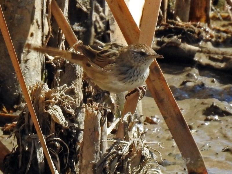 Poodytes gramineus at Jerrabomberra Wetlands - 31 Mar 2018