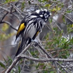 Phylidonyris novaehollandiae (New Holland Honeyeater) at ANBG - 1 Apr 2018 by RodDeb