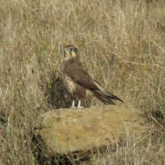 Falco berigora (Brown Falcon) at Sherwood Forest - 1 Apr 2018 by KumikoCallaway